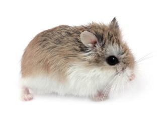 Hamster in latin