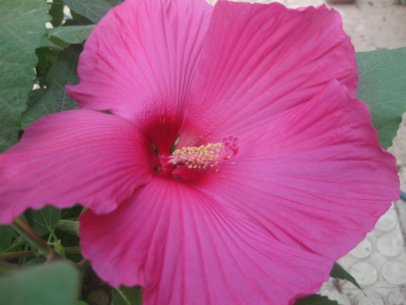 hibiscus manihot Aid__010