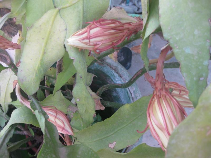 suite des mes epiphyllums  Lobii_12