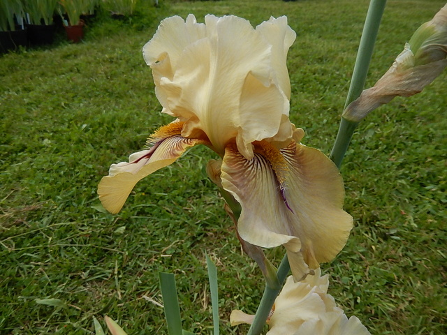 Iris 'Thornbird' - Byers 1988 6_darw10