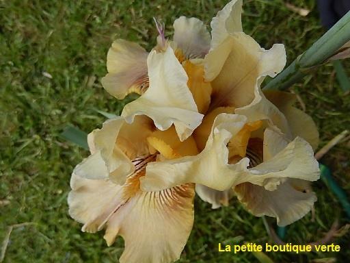 Iris 'Thornbird' - Byers 1988 810