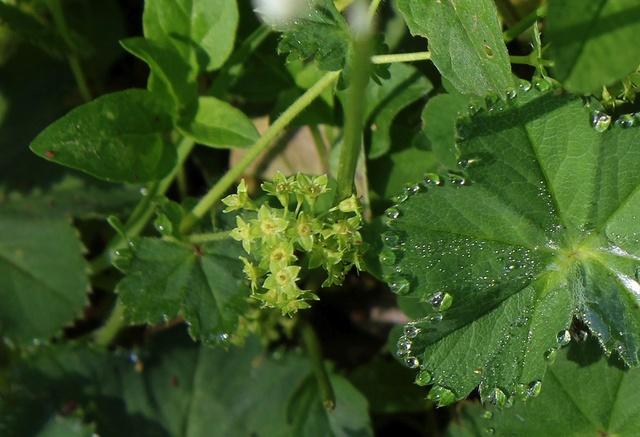 Alchemilla hybrida (groupe) - alchemille hybride Alchem10