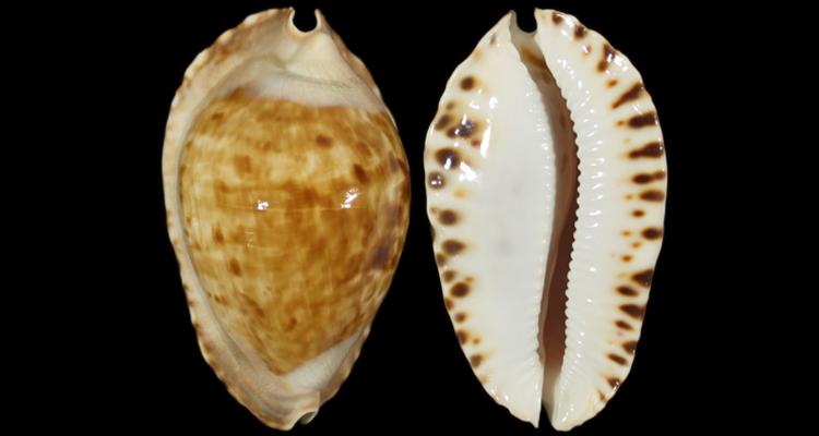 Zoila marginata f. consueta (Biraghi, 1993) Zoila_10