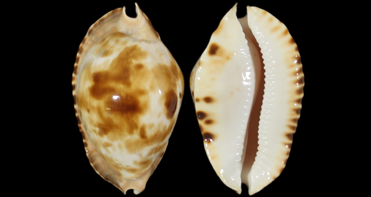Zoila marginata f. consueta (Biraghi, 1993) Zoila_11