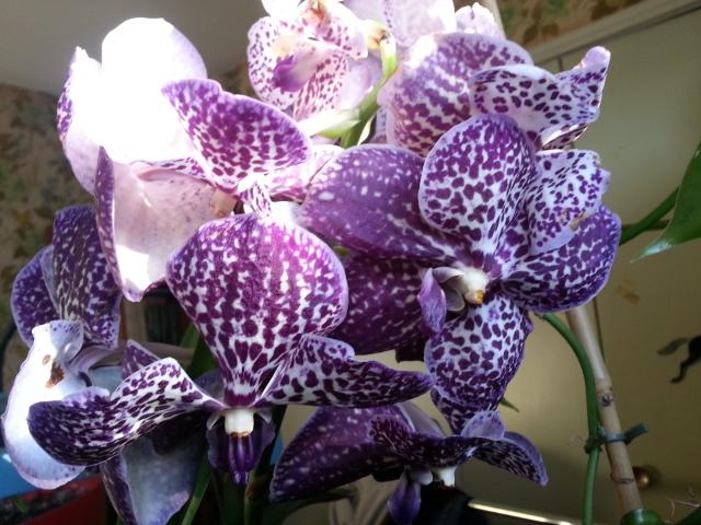 floraisons des orchidées - Page 41 20170115