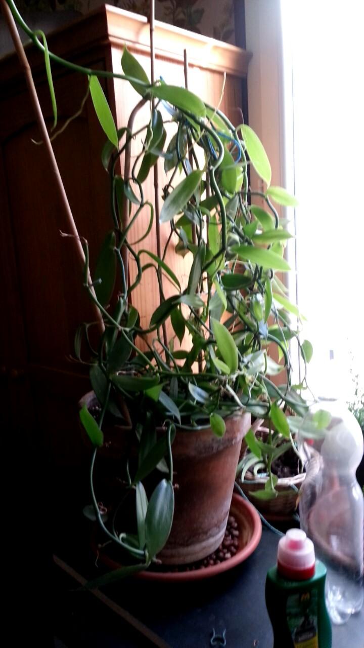 Culture et Entretien de la Vanilla Planifolia - Page 6 Fb_img10