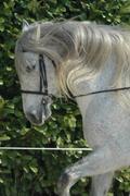 Cherche cavalier pour cheval Pure Race Espagnol 8 ans Avatar10