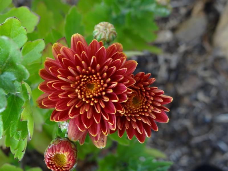 Chrysanthème Dsc01111