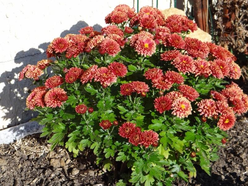 Chrysanthème Dsc01141