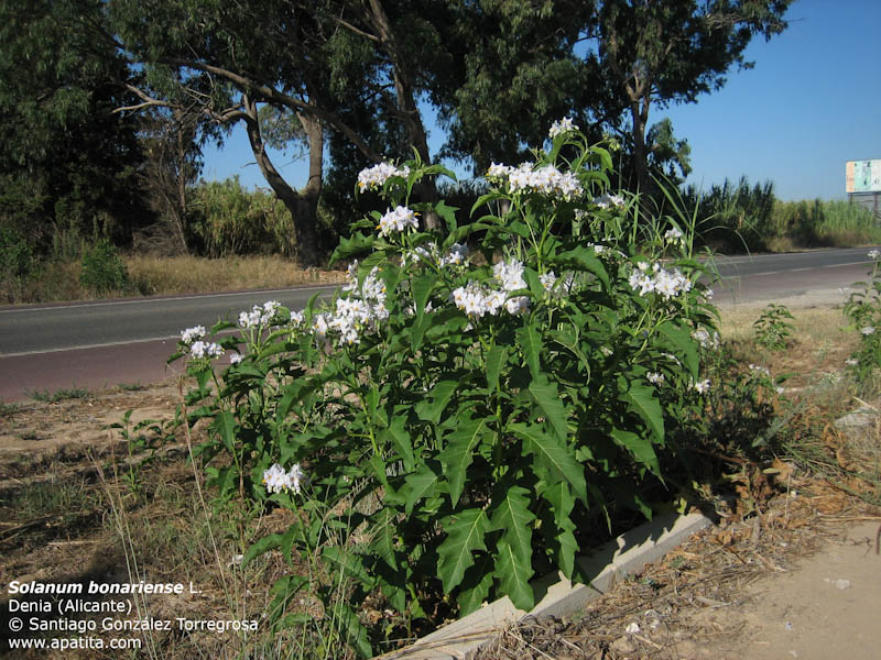 Solanum, mais lequel ? Solanum bonariense Solanu10