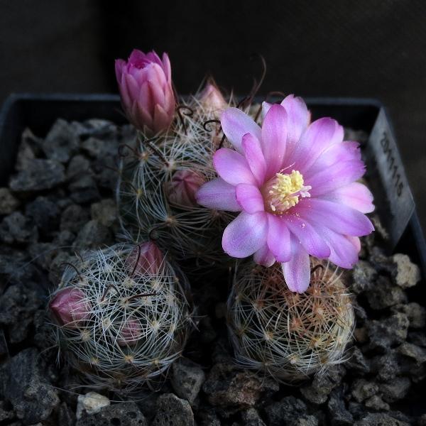 Primavera na minha estufa Mammil23