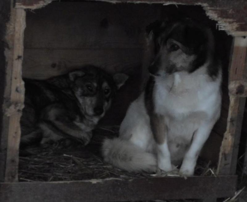 LUPI !! + de 3 ans de box !! - femelle , née environ en 2010, typée chien loup de sarloos, taille moyenne - REMEMBER ME LAND Origam10