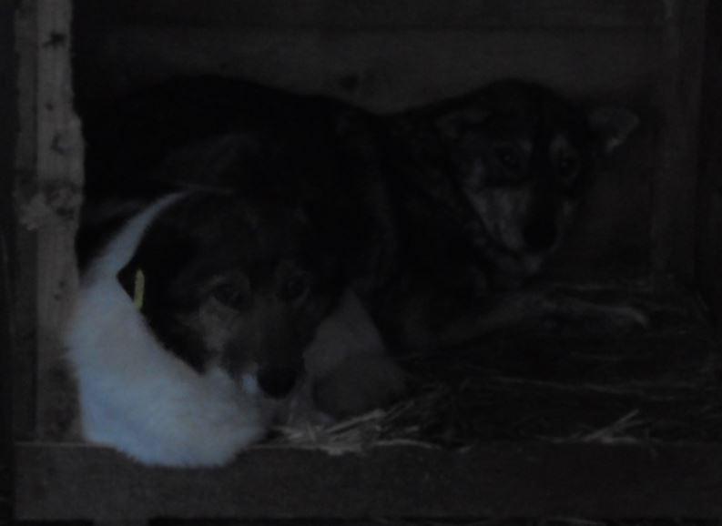 LUPI !! + de 3 ans de box !! - femelle , née environ en 2010, typée chien loup de sarloos, taille moyenne - REMEMBER ME LAND Origam11