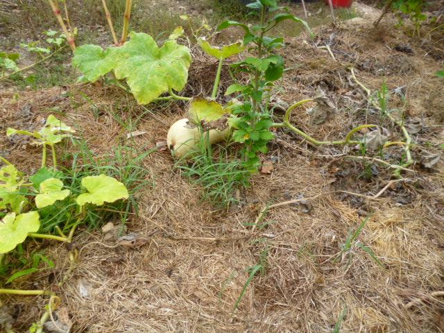 je jardine avec l'esprit de la permaculture  - Page 5 P1100012