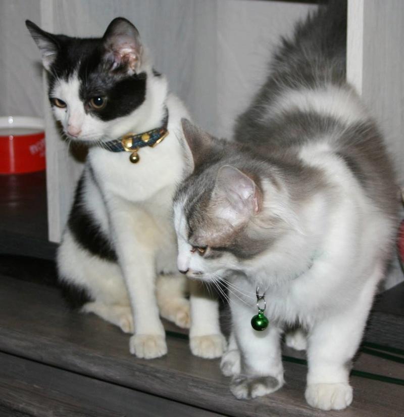 THOR,chaton trouvé rue du Parc à LILLERS avec son frére Thor10