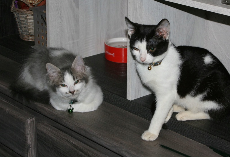 THOR,chaton trouvé rue du Parc à LILLERS avec son frére Thor110