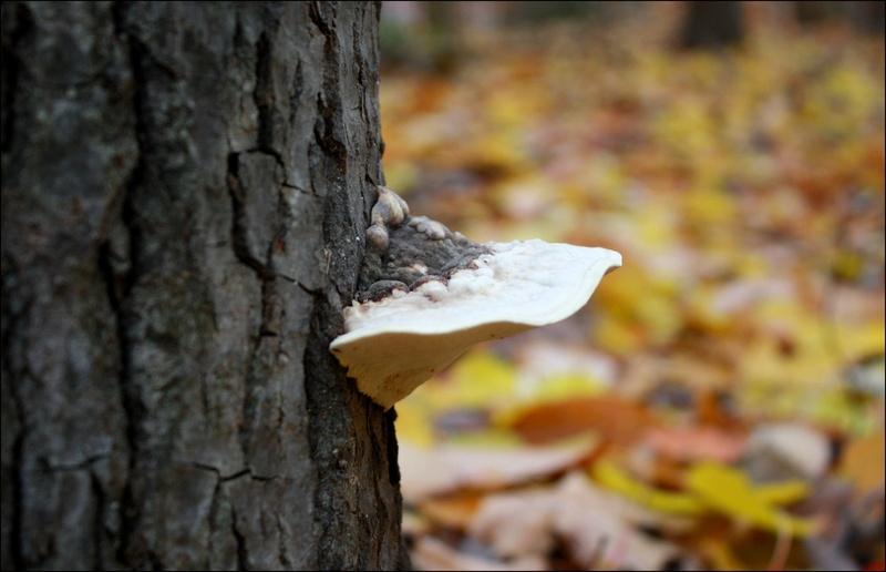 [fil ouvert] les champignons - Page 4 Les_fe15