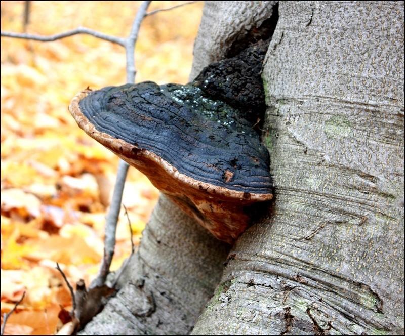 [fil ouvert] les champignons - Page 4 Les_fe18
