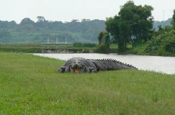 Crocodile sighting in Singapore golf course Img_2010