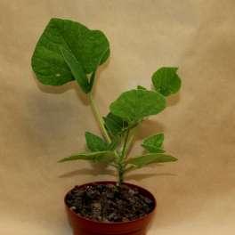 Erythrina Herbacea Erythr10