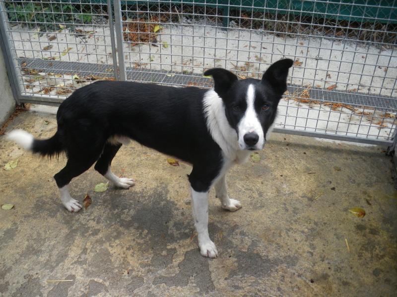 FOSCO (chien mâle border collie noir et blanc) Imgp0710