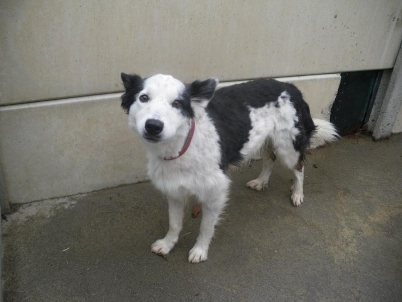 TWISTE (chien mâle border collie noir et blanc) Imgp0721