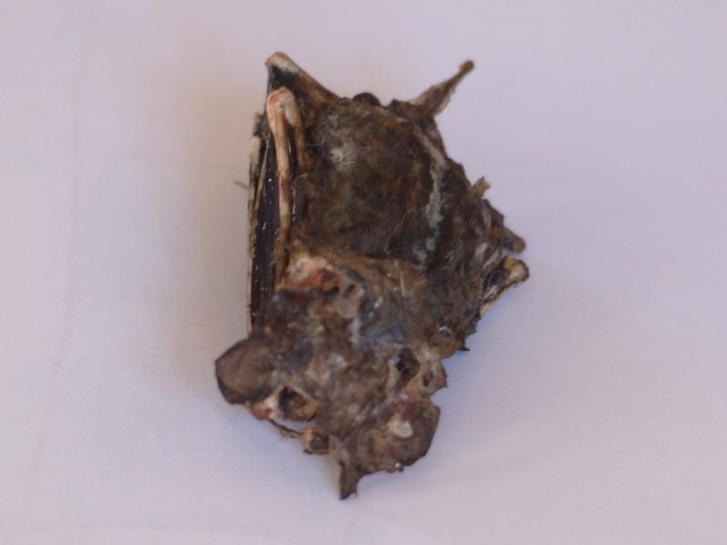 Chauve-souris indéterminée P1010814