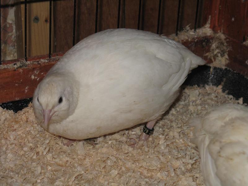 aménagement de cages d'hiver pour cailles reproductrices Img_4513