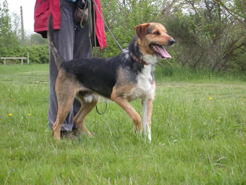 THEO, gentil Fox Terrier de 1 an et 9 mois (dept 82 Haute-Garonne) Theo110