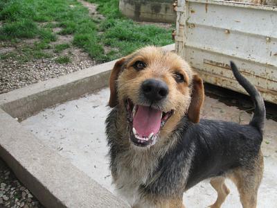 THEO, gentil Fox Terrier de 1 an et 9 mois (dept 82 Haute-Garonne) Theo210