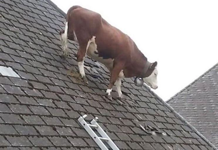Insolite  animaux . - Page 11 Vache_10