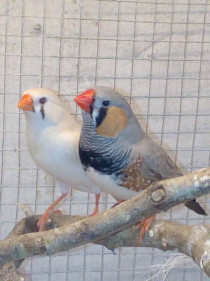 Mes diamants mandarins, mâle et femelle ...  15492010