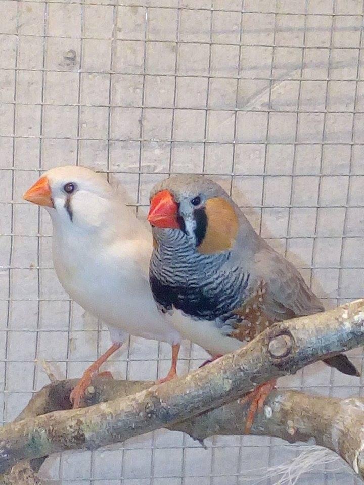 Mes diamants mandarins, mâle et femelle ...  15492210