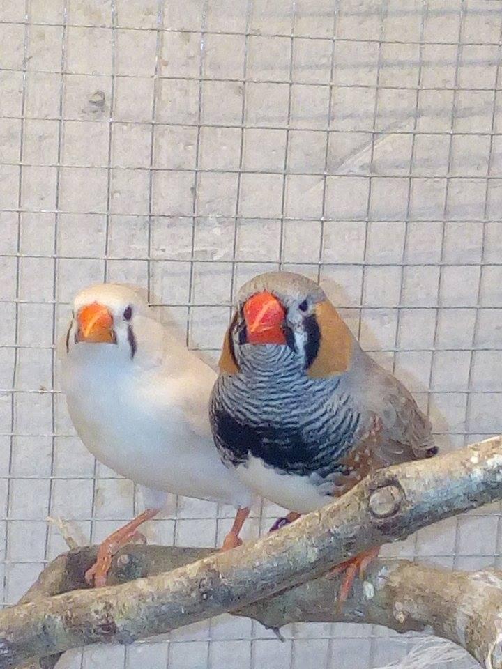 Mes diamants mandarins, mâle et femelle ...  15621510