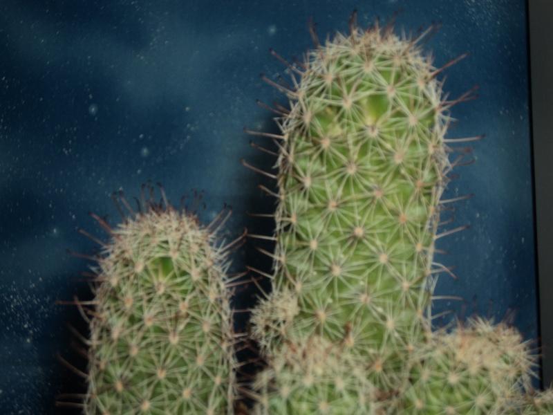 Please, help me identify my Mammillaria Mammil10