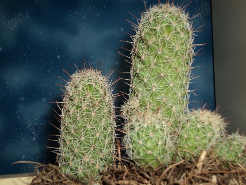 Please, help me identify my Mammillaria Mammil11