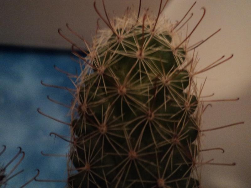 Please, help me identify my Mammillaria Mammil12