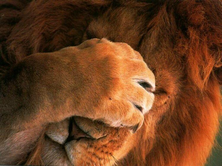 La langage messianique Lion_115