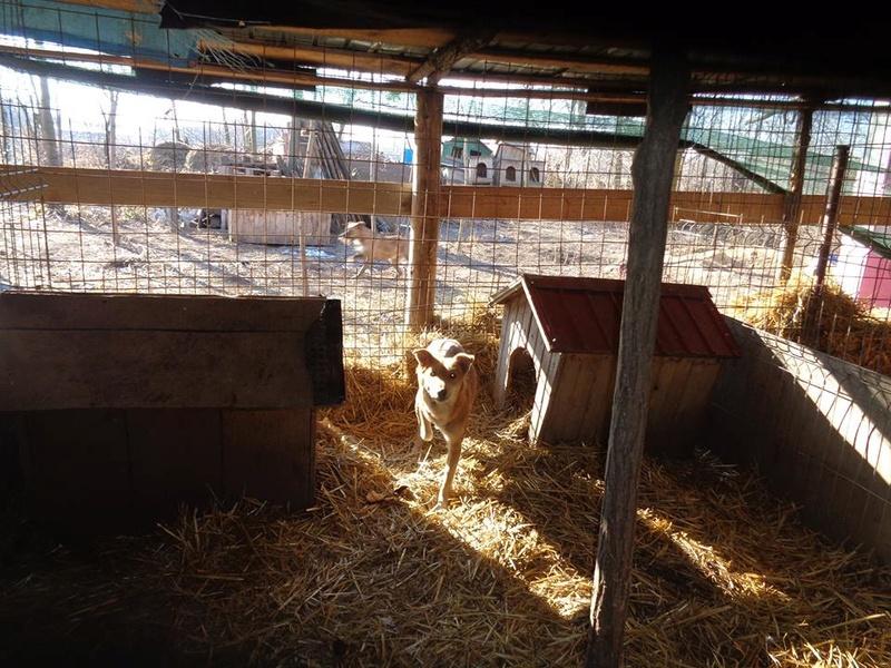 INAYA, femelle berger née en 2014 sauvée de l'equarrissage pour Noel - marrainé par Réglisse -  15727110