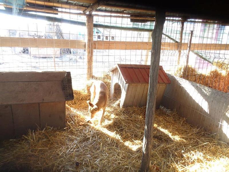 INAYA, femelle berger née en 2014 sauvée de l'equarrissage pour Noel - marrainé par Réglisse -  15781710