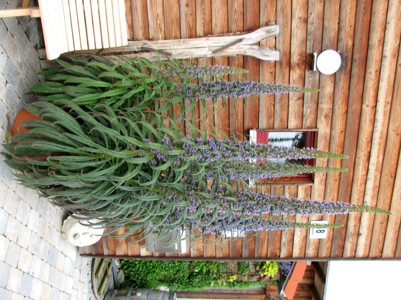 Echium wildpretii - Seite 9 Ech_pi11