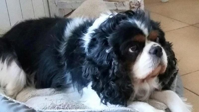 ELFIE cavalier king charles femelle 7 ans Temp128