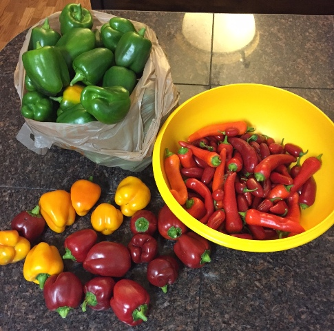 What are you eating from your garden today? Pepper10