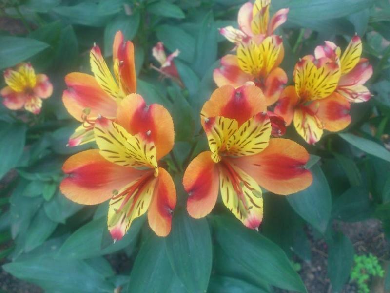 Lilien(artige) -  natürlich Lilien, aber auch Inkalilien, Zeitlose, Germer und Stechwinden - Seite 4 Inka-l10