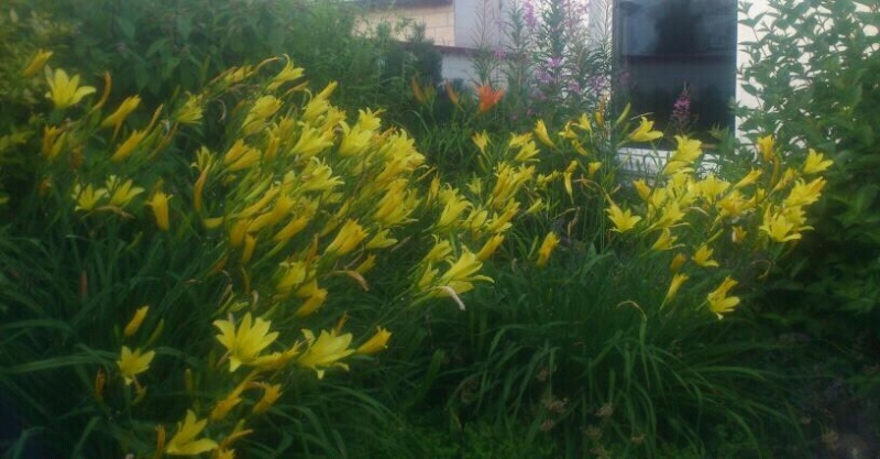 Lilien(artige) -  natürlich Lilien, aber auch Inkalilien, Zeitlose, Germer und Stechwinden - Seite 4 Lilien10