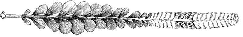 Flore Carbonifère des Alpes Françaises part 1 - Page 5 Noegge11