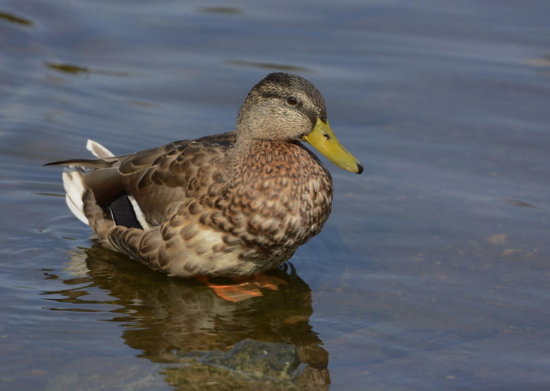 Les canards. 2014-014