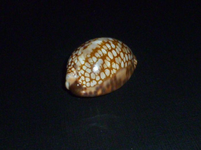 Mauritia maculifera scindata - Lorenz, 2002 P1080521
