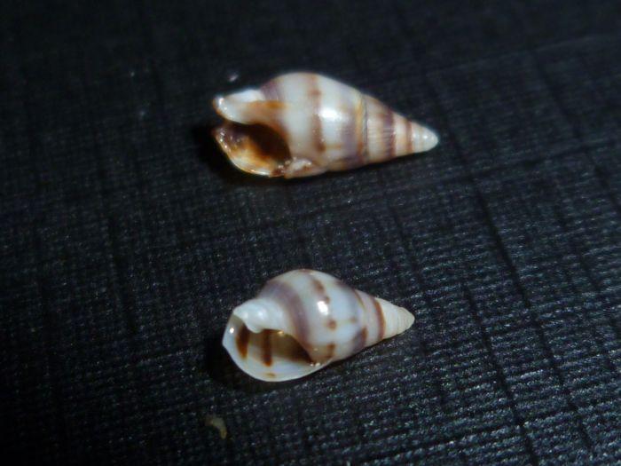 Nassarius vittatus - (A. Adams, 1853) P1080613