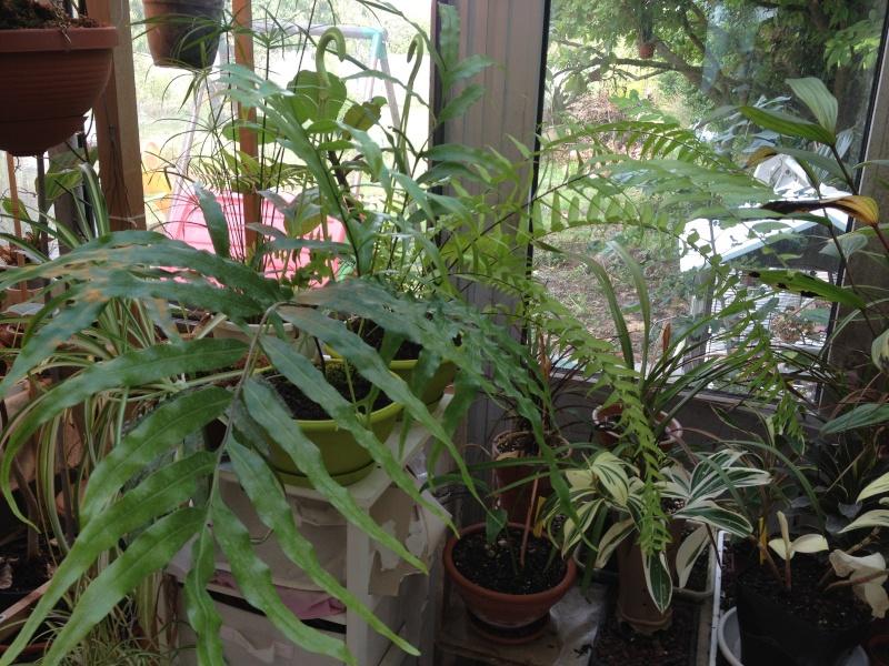 Phymatodes longissima Img_3410